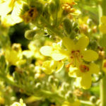Koenigskerze Bluete gelb Verbascum lychnitis 02