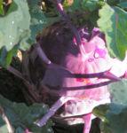 Kohlrabi Ruebe dunkel lila Brassica oleracea 01