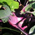 Kohlrabi Ruebe dunkel lila Brassica oleracea 05