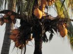 Kokospalme Kokosnuss gelb braun Cocos nucifera 01