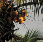 Kokospalme Kokosnuss gelb braun Cocos nucifera 02