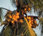 Kokospalme Kokosnuss gelb braun Cocos nucifera 03