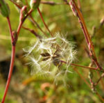 Kompass Lattich Blatt gruen Lactuca serriola 04