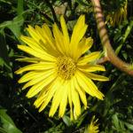 Kompasspflanze Bluete gelb Silphium laciniatum 03