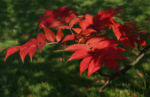 Koreanische Eberesche Beere Blatt rot braun Sorbus commixta 01