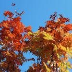 Koreanische Eberesche Beere Blatt rot braun Sorbus commixta 03