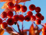 Koreanische Eberesche Beere Blatt rot braun Sorbus commixta 05