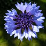 Kornblume Bluete blau Centaurea cyanus 07