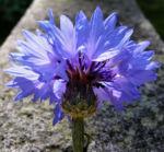 Kornblume Bluete blau Centaurea cyanus 08
