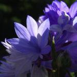 Kornblume Centaurea cyanus 04