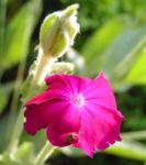 Kranz Lichtnelke Bluete pink Silena coronaria 09