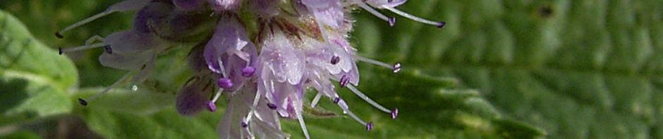 gruene-minze-krause-minze-bluetendolde-mentha-spicata