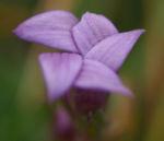 Kreuz Enzian Bluete violett Gentiana cruciata 01