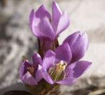 Kreuz Enzian Bluete violett Gentiana cruciata 04