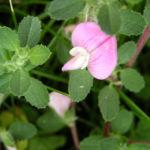 Kriechende Heuhechel Ononis repens subsp procurrens 02