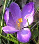 Krokus Bluete lila Crocus speciosus 04