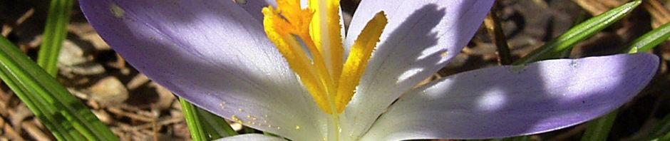 pracht-herbst-krokus-bluete-lila-crocus-speciosus