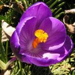 Krokus Bluete voll lila Crocus 01