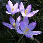 Krokus zart lila Crocus spec 01