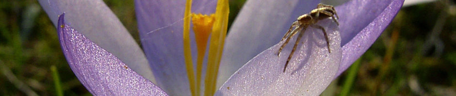 pracht-herbst-krokus-bluete-zart-lila-crocus-speciosus