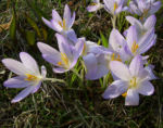 Krokus zart lila Crocus spec 05