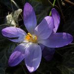 Krokus zart lila Crocus spec 06