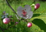 Kronen Apfel Baum Bluete weiss pink Malus coronaria 06