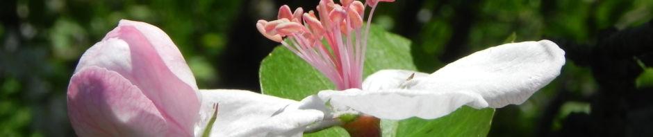 kronen-apfel-baum-bluete-weiss-pink-malus-coronaria