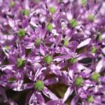 Kugel Lauch Bluete Dolde Allium sphaerocephalum 08