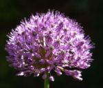 Kugel Lauch Bluete Dolde Allium sphaerocephalum 13