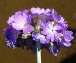 Kugel Primel Blume Bluete lila Primula denticulata 04