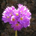 Kugel Primel Blume Bluete lila Primula denticulata 05