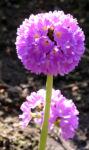 Kugel Primel Blume Bluete lila Primula denticulata 08