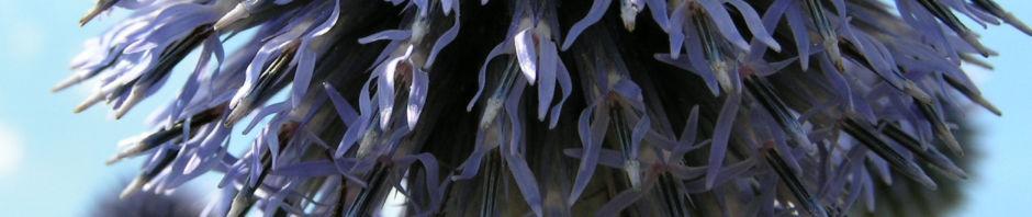 bienen-kugeldistel-bluete-blau-echinops-sphaerocephalus