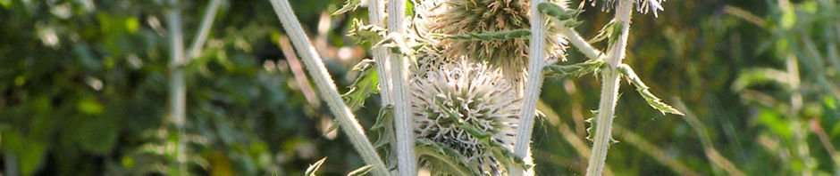 banater-kugeldistel-bluete-weisslich-echinops-bannaticus