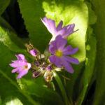 Kugelprimel Bluete lila Primula denticulata 03