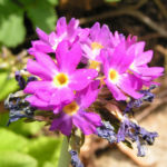 Kugelprimel Bluete lila Primula denticulata 06