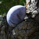 Kultur Pflaume Frucht Prunus domestica 03