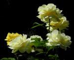 Kultur Rose Bluete gelb Rosa 02