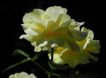 Kultur Rose Bluete gelb Rosa 04