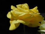 Kultur Rose Bluete gelb Rosa 06