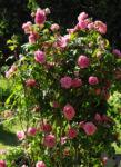 Kultur Rose Bluete rosa Rosa rosa 01