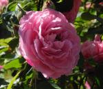 Kultur Rose Bluete rosa Rosa rosa 04
