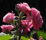 Kultur Rose Bluete rosa Rosa rosa 06