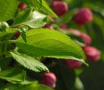 Bild:  Kulturapfel Blüte rot Malus domestica