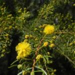 Kurara Dead Finish Bluete gelb Acacia tetragonophylla 05