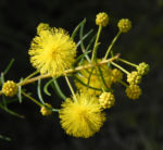 Bild:  Kurara Dead-Finish Blüte gelb Acacia tetragonophylla