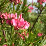 Lace Net Grevillea Bluete pink Grevillea stenomera 07