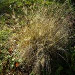 Bild:  Lampenputzergras Rispen Pennisetum alopecuroides