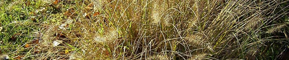 lampenputzergras-rispen-pennisetum-alopecuroides